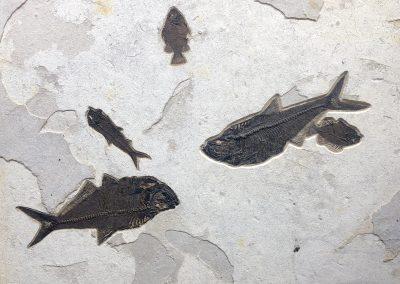 Fossil - Fish lamina