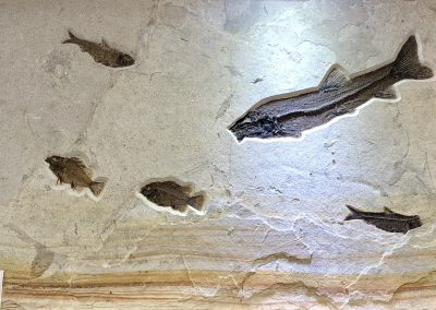 Fossil - Fish back wall